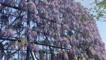 Elegant wisteria dance