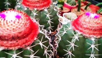 Big Size Cactus