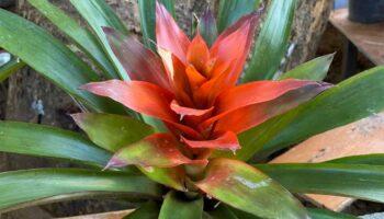 Red Greem Plant
