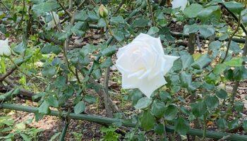 白い薔薇って綺麗ですよね
