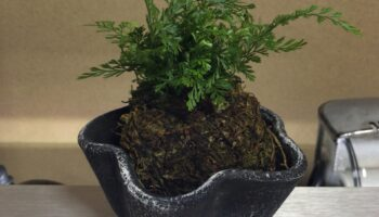 This is a Japanese bonsai