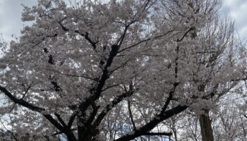 Do you know Sakura?