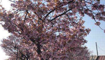 関東は桜がもうすぐ満開。週末はお花見かな?