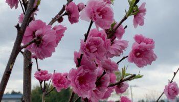 桜にもたくさんの種類があるんですよ