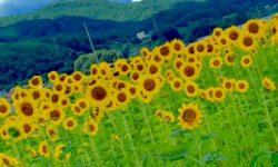 向日葵畑part1